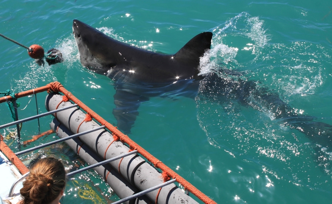 Great White Shark cage diving and surface viewing near Hermanus