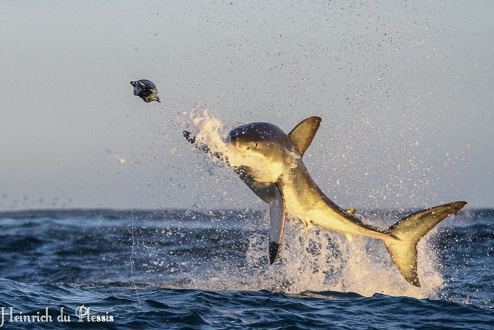 Great White Sharks | Cage Diving | Hermanus | Gansbaai | South