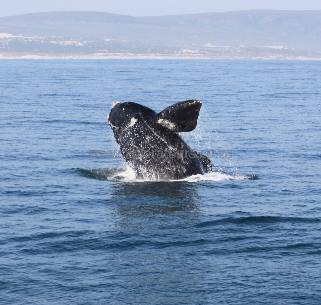 Southern Right Whale breaching at Hermanus, South Africa