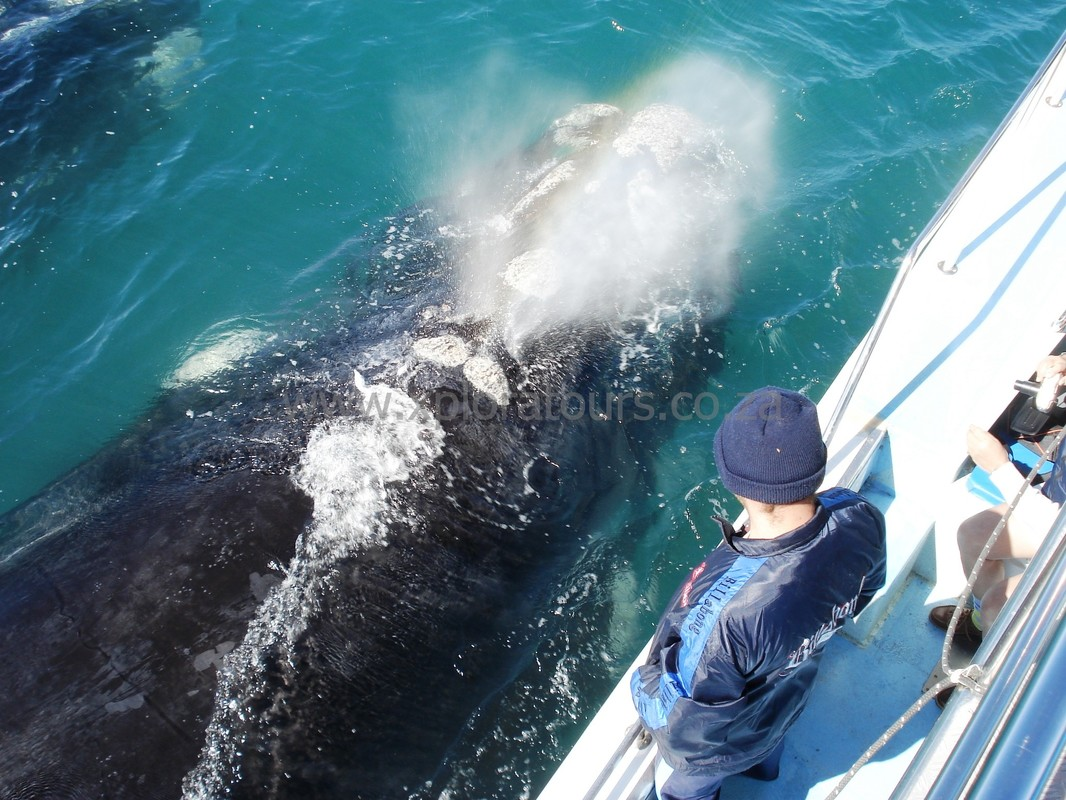 Whale Watching Boat trips, Hermanus, South Africa